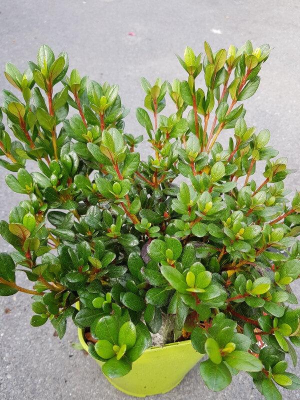 Azalee japonica