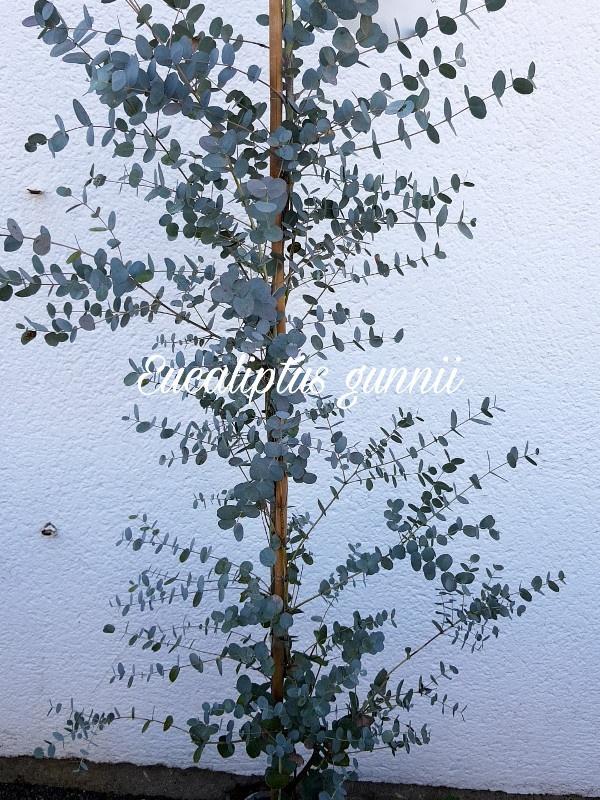 Eucaliptus gunnii