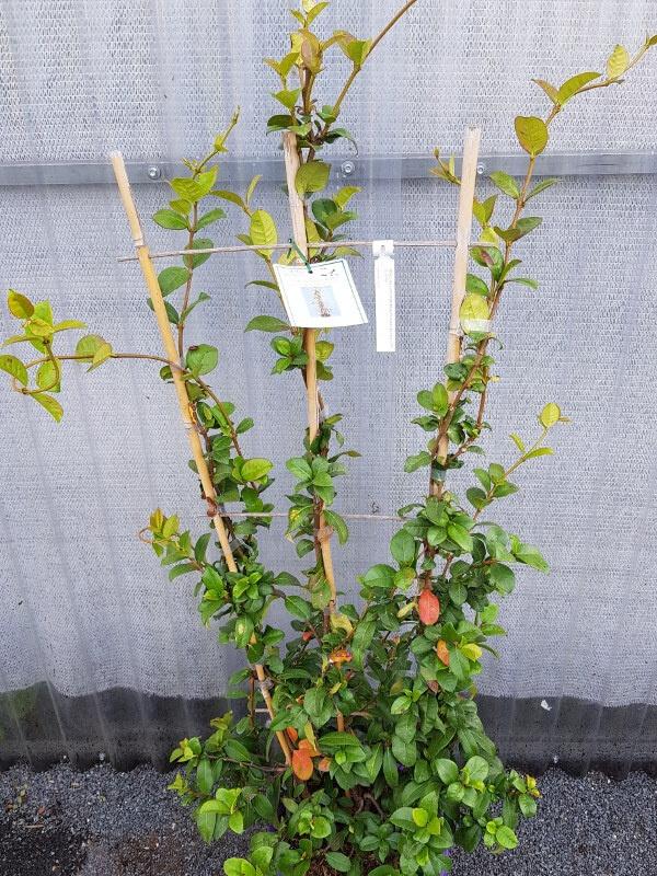 Trachelospernum jaminoides