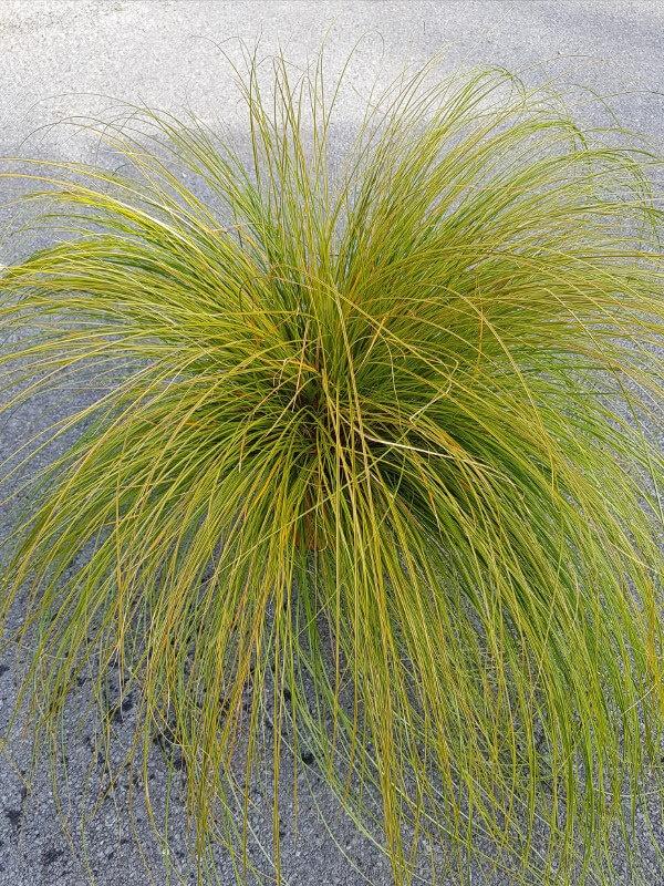 Carex forster curls