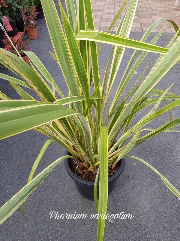 Phornium variegatum